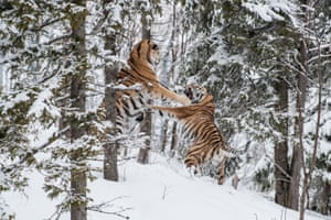 Two endangered Siberian tigers fight over a female tiger