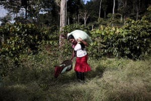 A coffee picker carries sacks of coffee cherries at a plantation in the Nogales farm in Jinotega, Nicaragua.