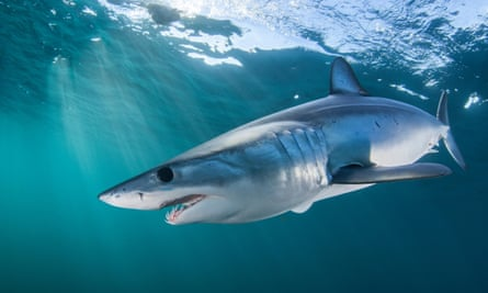 Mako shark, Cape Point, South Africa