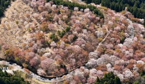 In this aerial image, approximately 30,000 cherry blossoms are in bloom at Mt. Yoshino, Nara, Japan