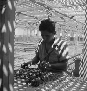 Manzanar Relocation Center, Manzanar, California, 1942. An evacuee is shown in the lath house sorting seedlings for transplanting. These plants are year-old seedlings from the Salinas Experiment Station.