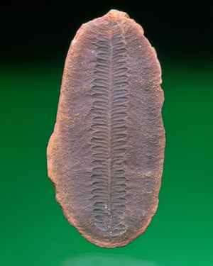 Fossil fern leaves (Asterotheca miltoni).