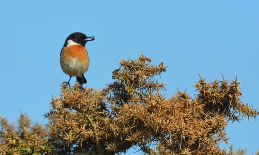 Birds such as the stonechat use the brambles for nest-building and foraging.