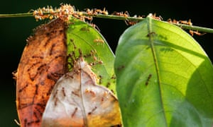 A colony of weaver ants build their nest from leaves in Kuala Lumpur
