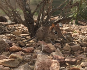 A Somali sengi (or elephant shrew) – a tiny, proboscis-nosed mammal – which for half a century many believed to be lost, has been living quietly in rocky areas of the Horn of Africa
