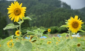 Sunflowers grow in fields in Okuma that were used for crops before the Fukushima nuclear disaster.