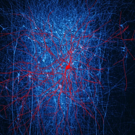 Retrograde staining. The presynaptic neurons of a layer 2/3 nest basket cell (in red) were stained (in blue) in a digital reconstruction of neocortical microcircuitry. Only immediate neighbouring presynaptic neurons are shown.