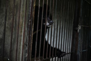This photo taken on 9 July shows an Asian black bear in the Thabarwa animal shelter in Mawbe, on the outskirts of Yangon, Myanmar.