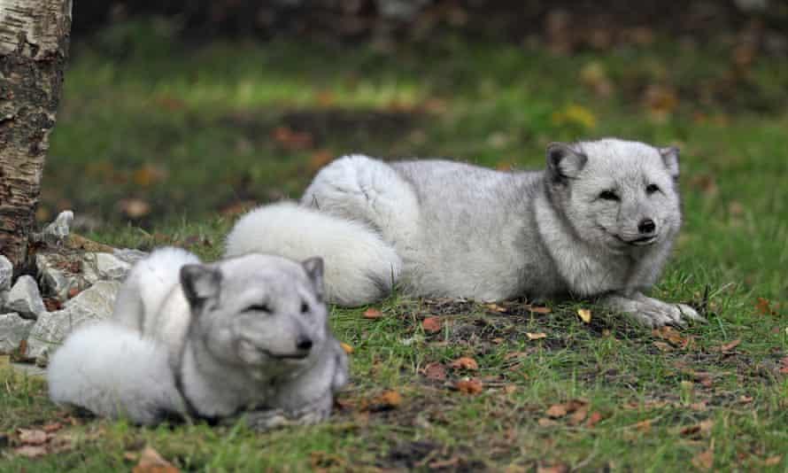 Wolves at Wildwood, Kent, UK