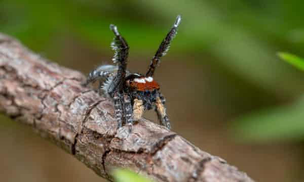 Maratus tortus, which was discovered by David Knowles in 1994