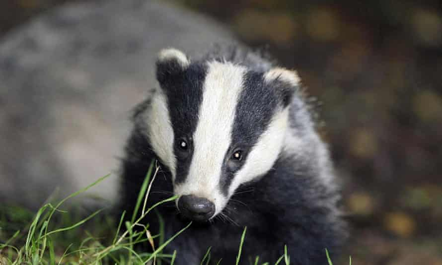 A badger.