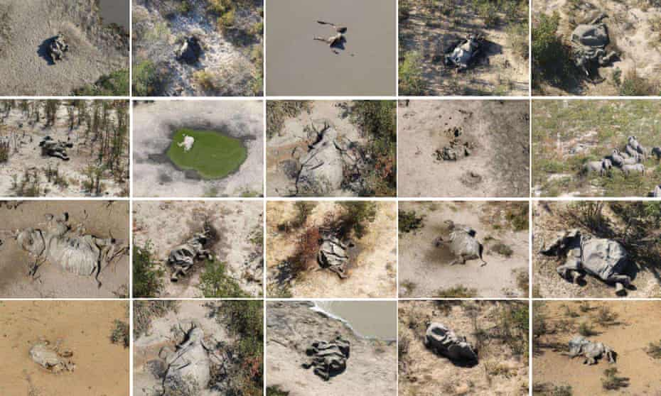 Aerial images of some of the elephant carcasses seen in the Okavango Delta.