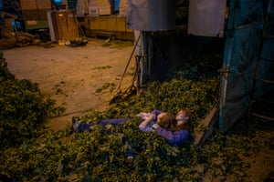 Workers take a break as they sort hop plants during harvesting in the village of Rocov near Zatec.