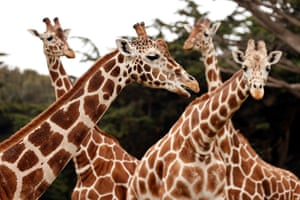 San Francisco, US Reticulated giraffes await visitors during the San Francisco Zoo & Gardens reopening, after a near four-month closure