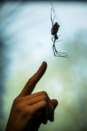 One of the seven Golden orb-weaver spiders that feature in the zoo's walk-through exhibit. They have a lifespan of about one year and can weave webs up to a metre across