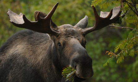 A bull moose munches on a mountain ash tree in east Anchorage, Alaska, on Tuesday, Oct. 13, 2009. (Photo/Anchorage Daily News, Bill Roth) ** FRONTIERSMAN OUT **