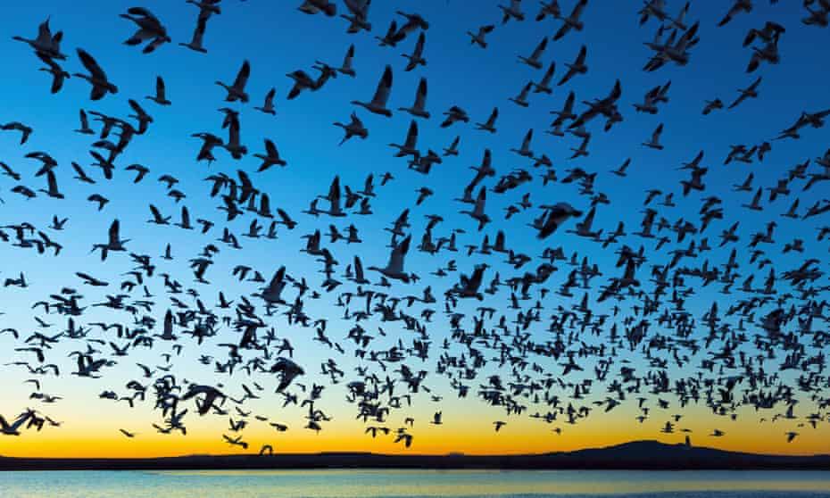 هزاران پرنده مهاجر هنگام طلوع یا غروب آفتاب بر فراز آب پرواز می کنند.