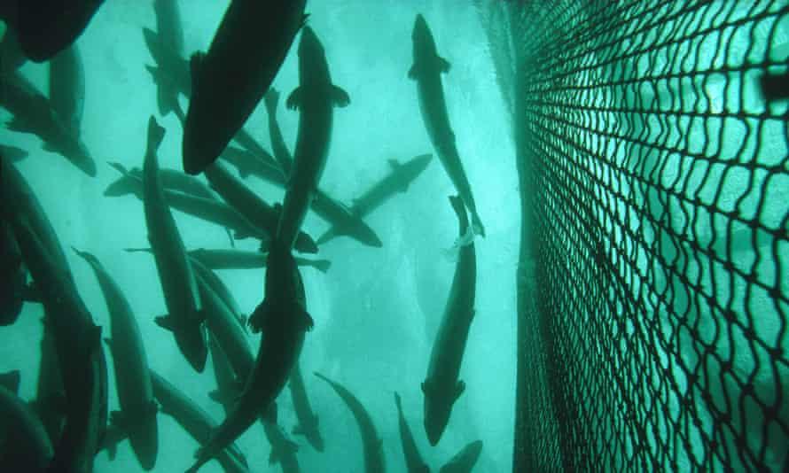 Atlantic salmon (Salmo salar) in cage of Salmon farm, Norway. BRAAKN