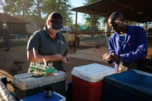 Veterinarian Michelle Otto (L) prepares the tranquiliser darts ahead of a day of horn trimming.