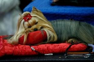 A Yorkshire Terrier rests backstage