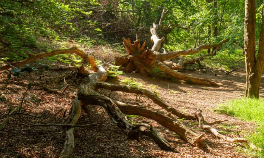 A fallen oak tree.