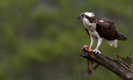 Osprey eating a trout.