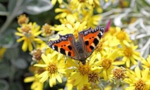 Small tortoiseshell butterfly feeding on yellow senecio flowers in Epsom, Surrey, UK