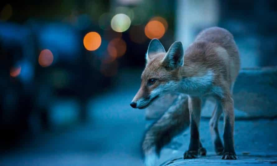 Fox trot … survival in the metropolis.