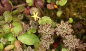 In liverworts like the common Marchantia, the gametophyte is the dominant phase.