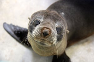 Elvis the young fur seal ready to be released back into the wild from Taronga Zoo after being rescued from wild storms that hit Sydney, Australia, earlier in the month