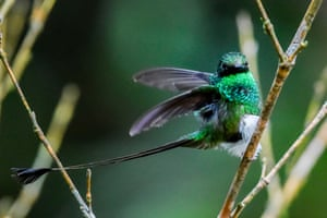 A booted racket-tail hummingbird at the cloud forest of San Antonio, in the rural area of Cali in Colombia