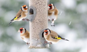 Goldfinches on a bird feeder filled with sunflower hearts