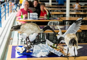 Ibises fight seagulls for food from a tabletop at a Sydney cafe as people look on in abject disgust