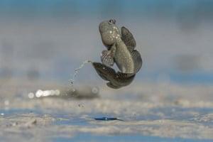 Skipping mudskipper