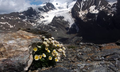 Alpine plants face extinction as melting glaciers force them higher, warns study