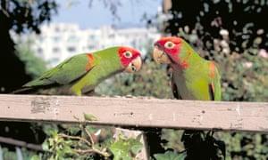 Wild Parrots Of Telegraph Hill, San Francisco. Film Film Stills Film Still