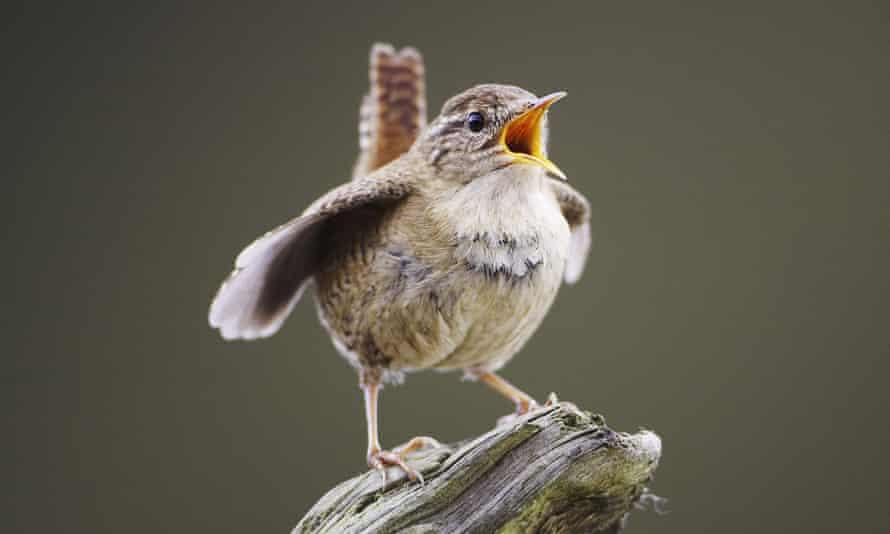 A wren singing