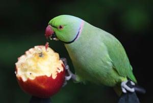 A parakeet feasts on fruit in Kensington Gardens in London