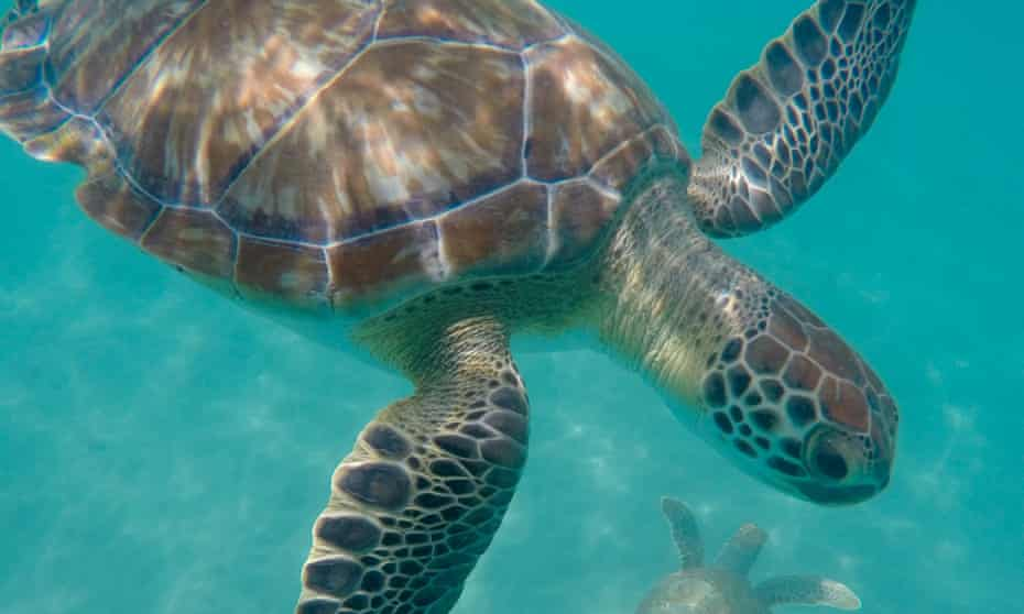 Turning turtle: a fully grown Hawksbill swimming by Cobblers Cove Beach.
