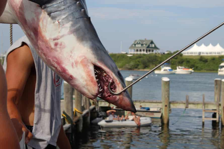 A shark caught at Block Island Giant Shark Tournament. Critics are trying to strip shark tournaments of their reputations