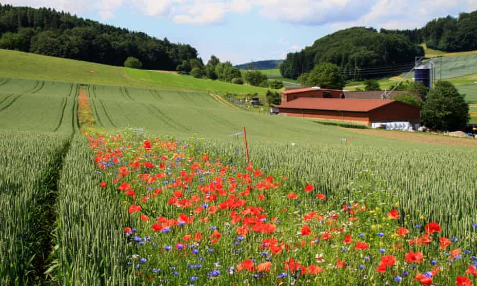 Tailored flower strips allow pest-eating insects to reach throughout crop fields