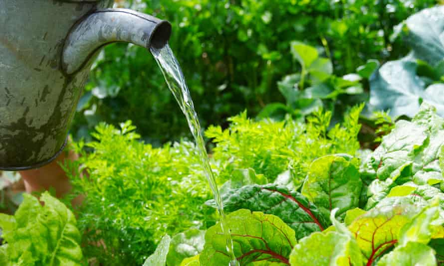 Easy does it… too much watering can dilute plants' taste.