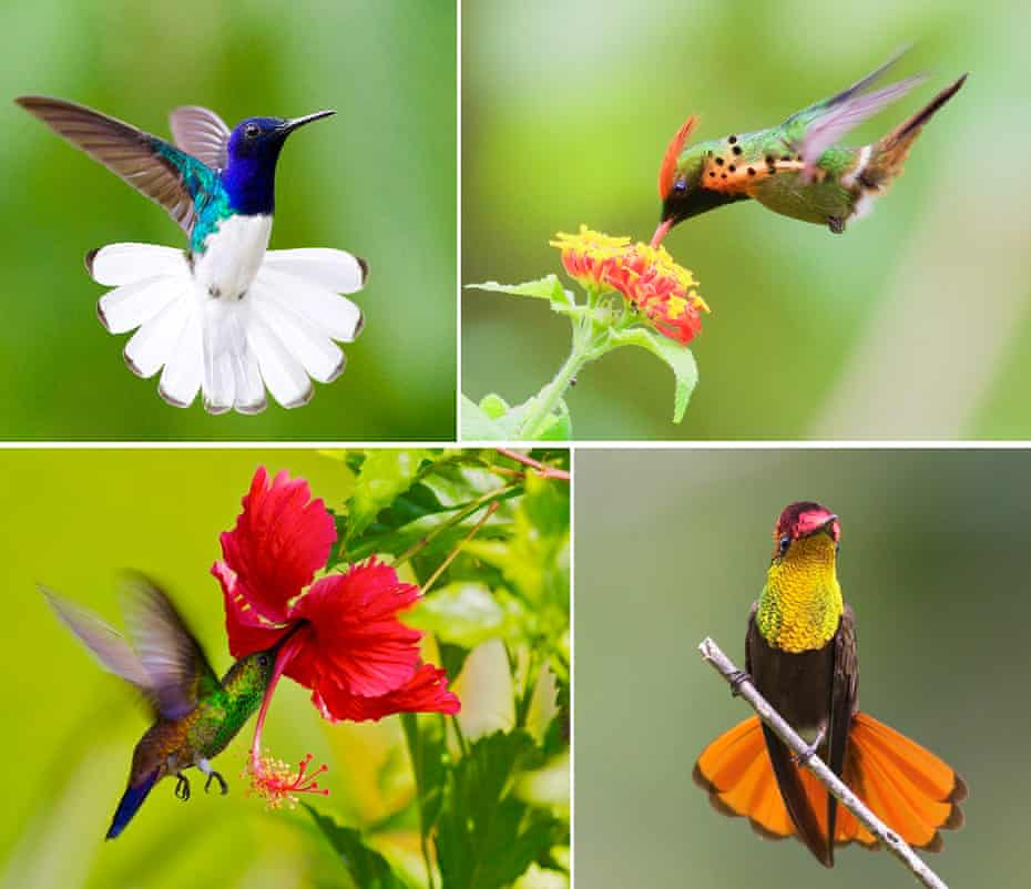Hummingbirds (clockwise from top left to bottom right): white-necked jacobin, tufted coquette, ruby-topaz and copper-rumped.