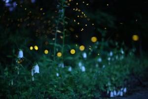 Fireflies above the bell-like flower hotaru bukuro