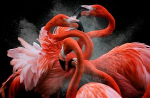 American flamingo by Pedro Jarque Krebs, Peru – Bird Photographer of the Year winner and creative imagery category winner