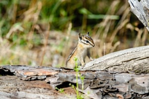 A curious chipmunk at Turnbull National Wildlife Refuge in Cheney, Washington, US