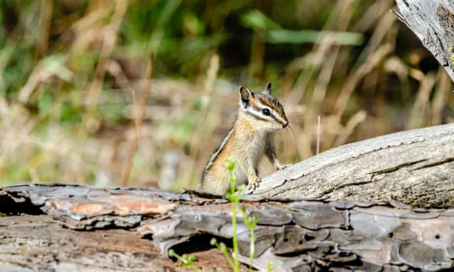 chipmunk in the woods
