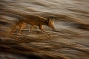 A red fox roams through the southern Israeli city of Ashkelon during coronavirus restrictions.