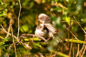 Two juvenile long-tailed tits in Poole, Dorset