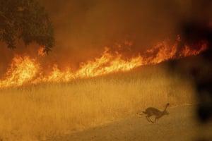 A rabbit flees as a wildfire burns in Guinda, California